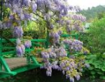 Giverny wisteria