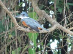 A Ringed Kingfisher