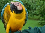 This Blue & Yellow Macau proudly displays how his broken wing is healing.