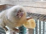 Baby Pygmy Marmoset