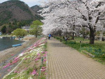 Cherry trees border the walkway along Lake Kawaguchito