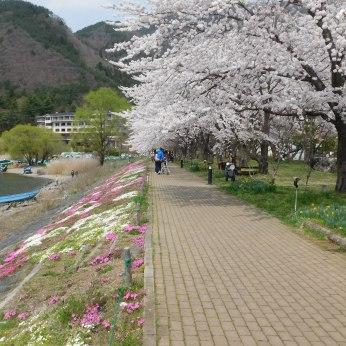Cherry trees border the walkway along Lake Kawaguchito