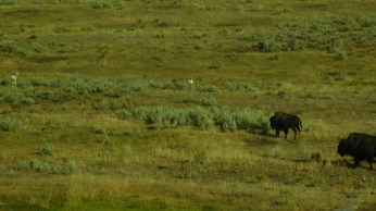 In a few places one can see Pronghorn (long ago mistaken for antelope) amid the bison herds.