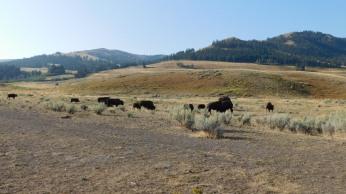 The Lamar Valley of Yellowstone, where the Buffalo roam.
