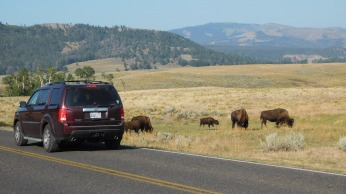 Bison are visible for miles along the highway.