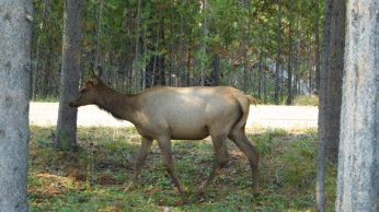 An elk grazed off the parking lot at Grant Village Visitor's Center