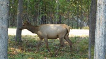 An elk grazed off the parking lot at Grant Village Visitor's Center