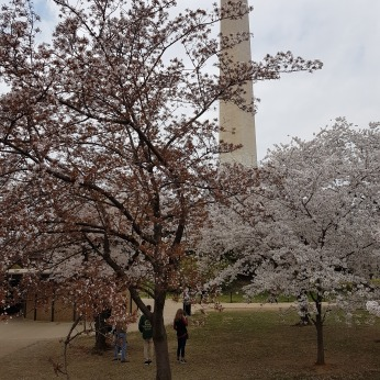 The Washington Monument and the beginning of the cherry trees are just steps from the Museum of African American History and Culture.