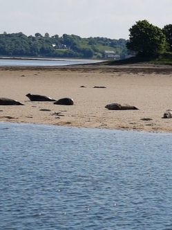 Seals bask in the sand on Donegal Bay.