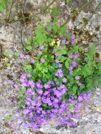 Flowers in a crannied wall.