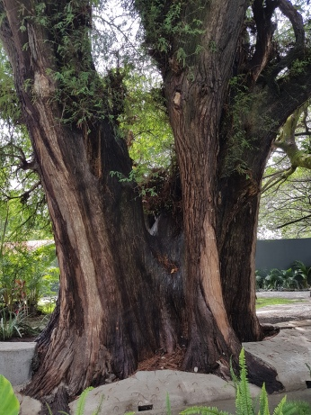 An Ahuehuete Tree Appears to be 200 years old.