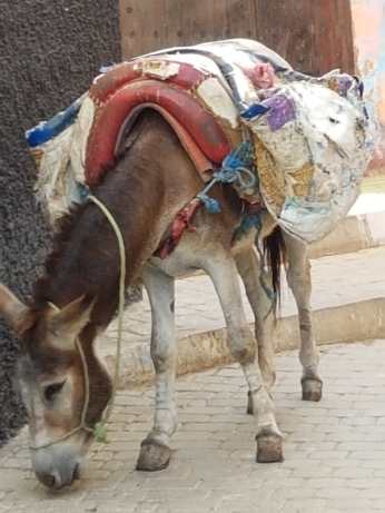 Donkeys like these in Mulay Idriss are common beasts of burden.