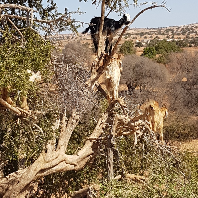 Goats in the Argan trees.