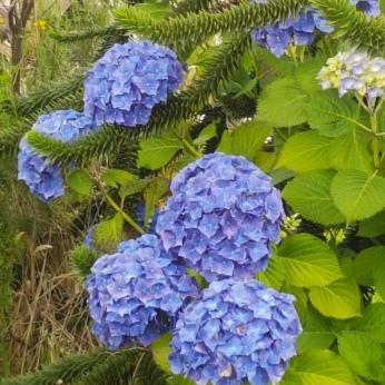 The hydrangeas had a rich deep blue.