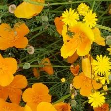 A variety of poppy I imagine.