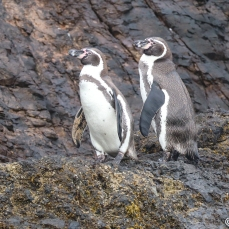Forgot, are these Humboldt or Magellanic Penguins? Photo by Linda Hatfield.